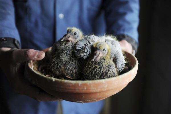Птенцы голубей в миске