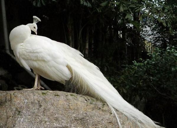 Белый павлин на камне