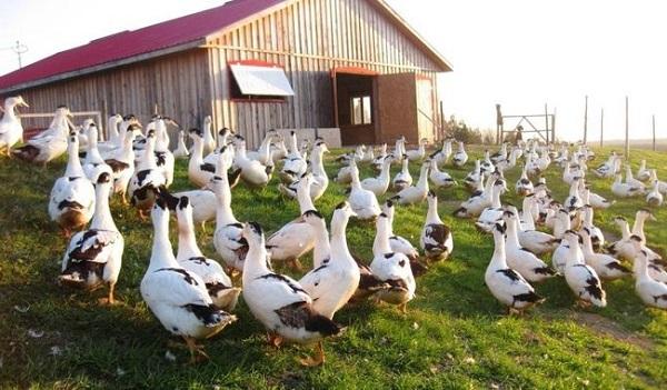 Птицы на частной ферме