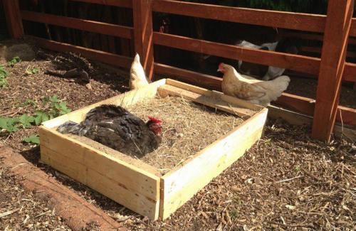 Курица принимает зольную ванну