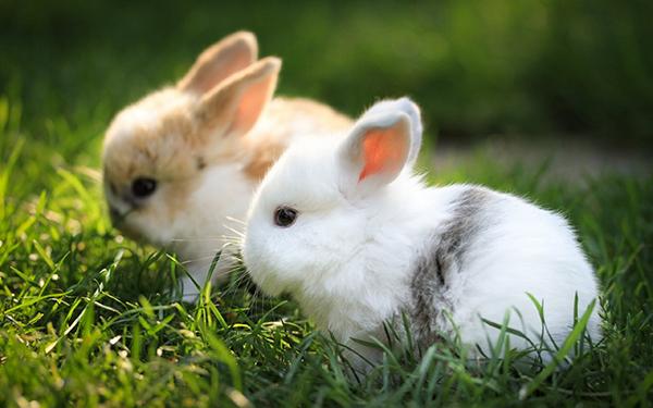 Два крольчонка на траве