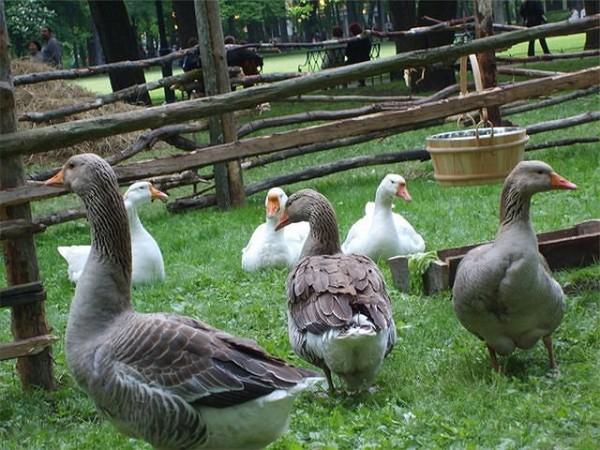 Гуси гуляют в загоне