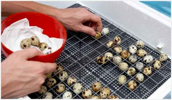 Перепелиные яйца раскладываются для инкубации