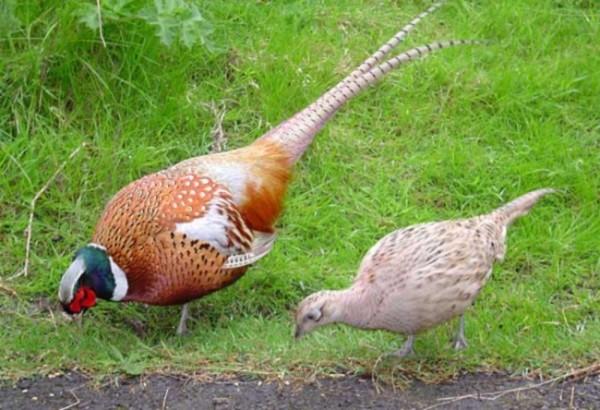 Пара охотничьих птичек на траве