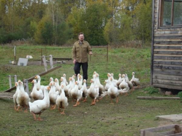 Хозяин загоняет птиц в загон