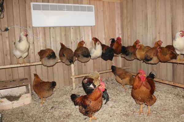 Домашние несушки в птичнике