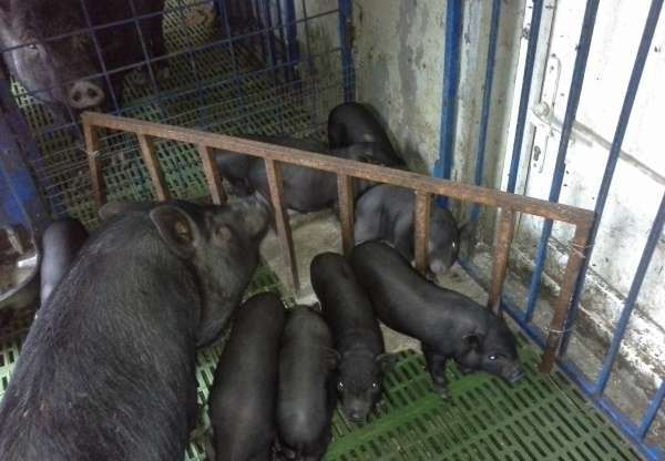 Разведение вислобрюхой породы свиней