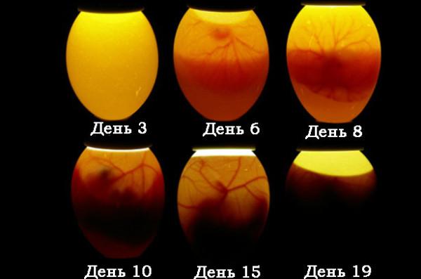Развитие яйца