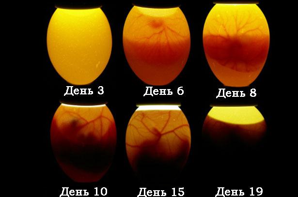 Картины развития зародыша в курином яйце