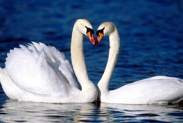 Пара лебедей на воде
