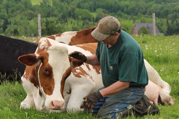 Как проходят роды у коровы: подготовка к рождению теленка и видео