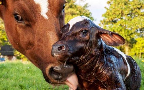 Корова и ее новорожденный малыш