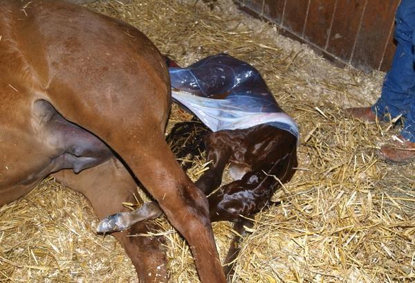 Процесс рождения жеребенка