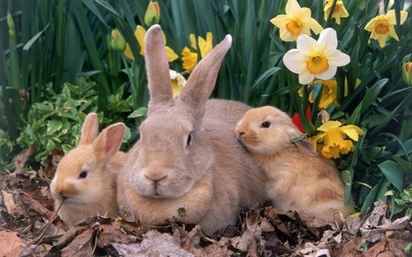 Самка нормальноволосой породы с крольчатами