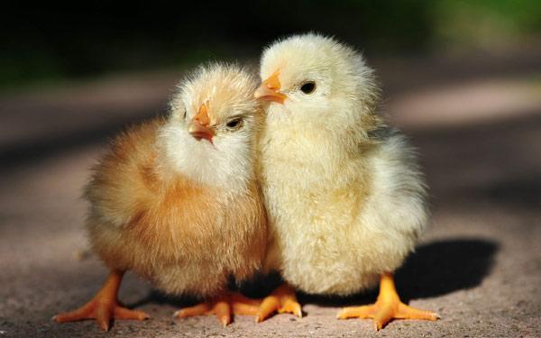 Два цыпленка стоят рядом