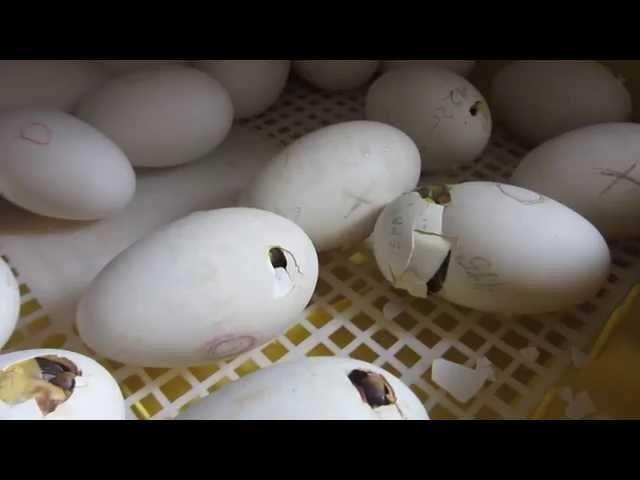 Утята проклевывают скорлупу яиц