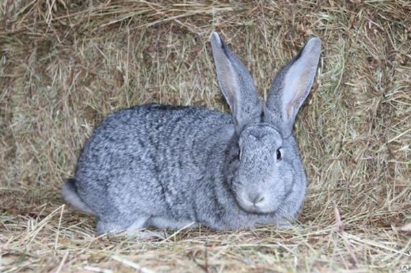 Кролик серый лежит на сене