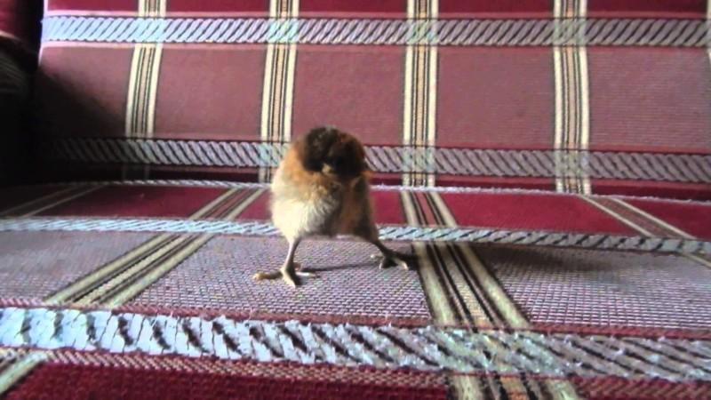 Цыпленок со шпагатиком на диване