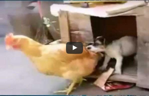 Щенок тащит курицу