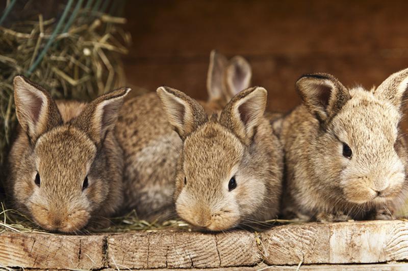 Коричневые кролики жуют сено