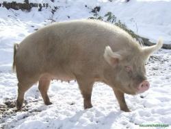 Сибирская северная свинка