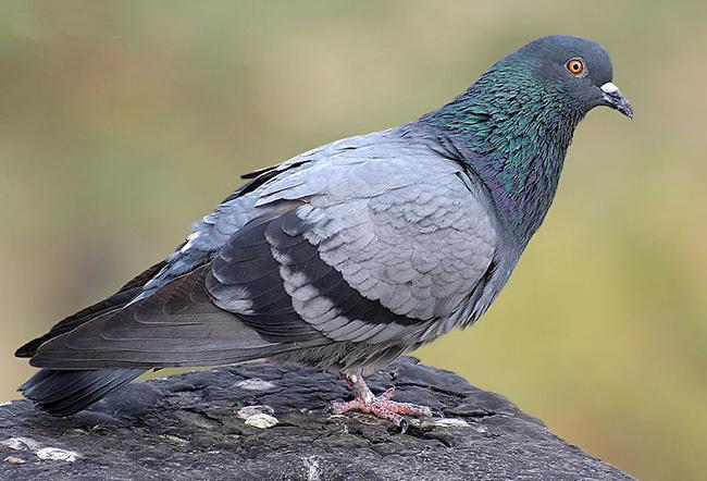 Сизый голубь на камне