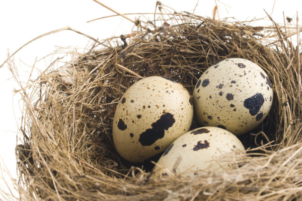 Три перепелиных яйца в гнезде