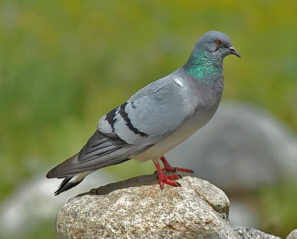 Дикий скалистый голубь на камне