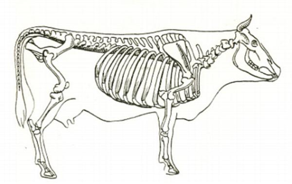 Строение скелета буренки
