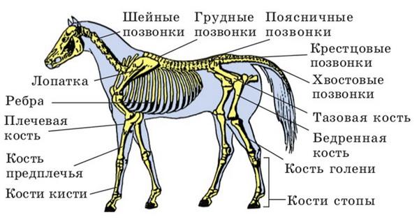 Схема скелета лошади