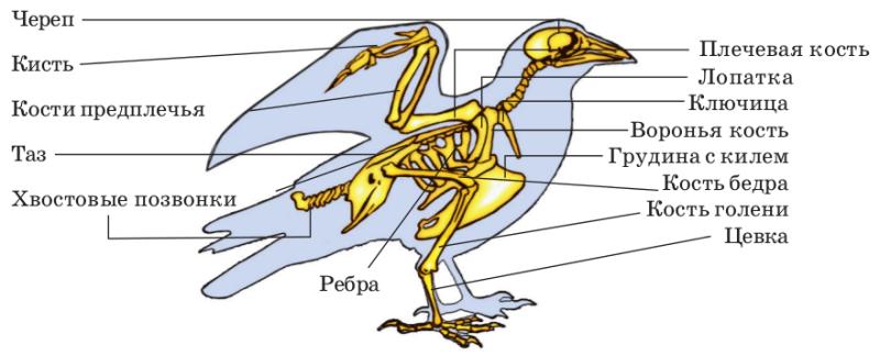 Схематическое изображение скелета голубя