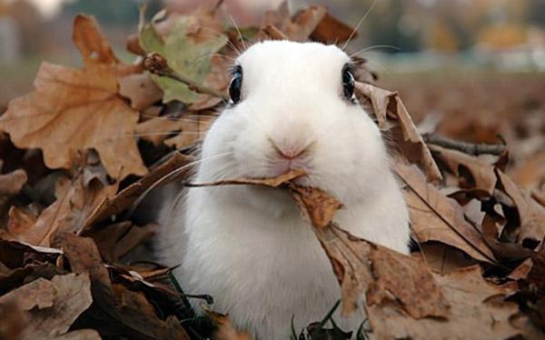 Белый крольчонок держит во рту сухой лист