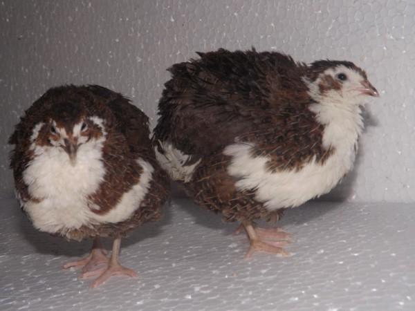Пара маленьких Смокинговых птичек