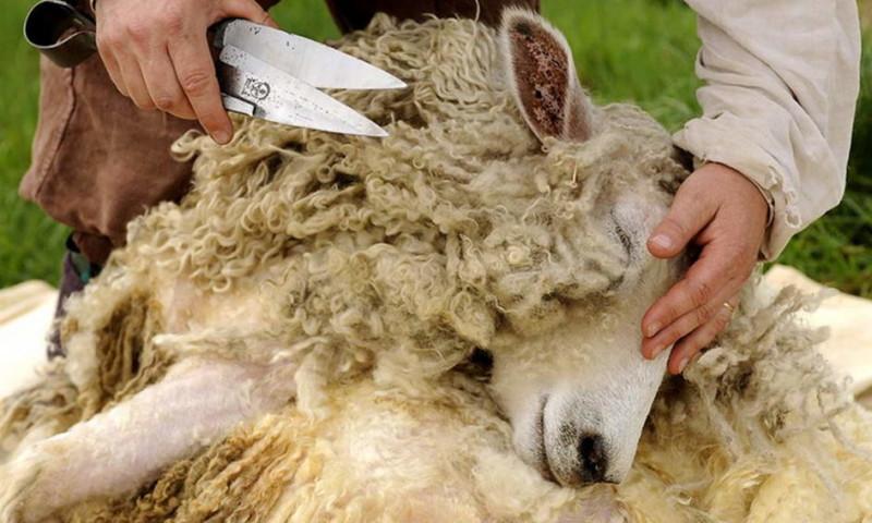 Состригание овечьей шерсти
