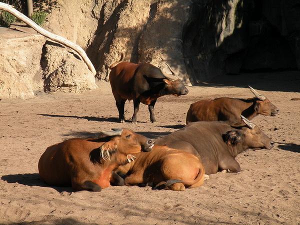 Стадо африканских буйволов