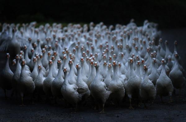 Большое стадо гусей