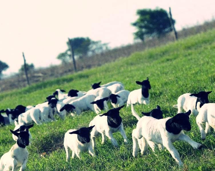 Стадо овечек на выпасе