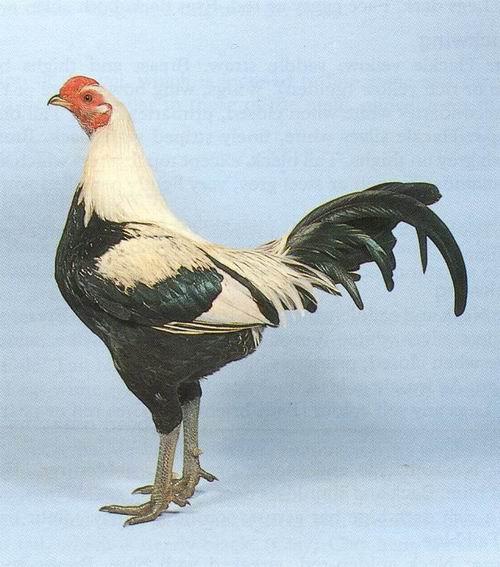 Бойцовская курица