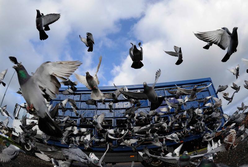 Стая голубей в полете