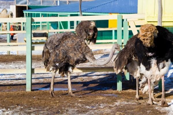 Африканские страусы гуляют в загоне