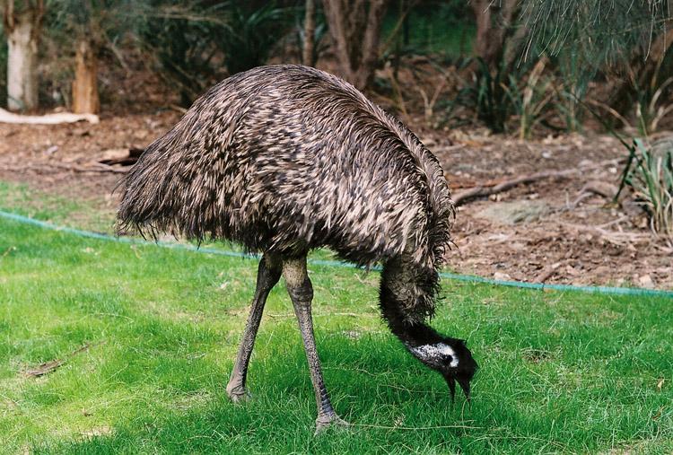Австралийский страус щиплет травку