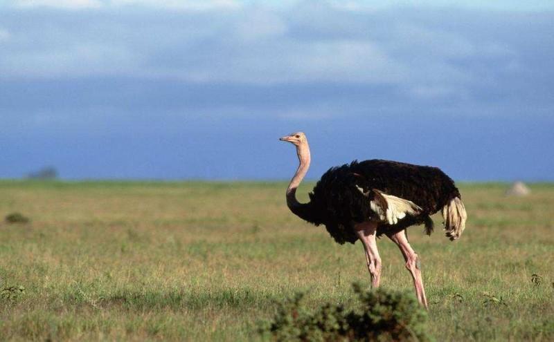 Птица на ферме «Русский страус»