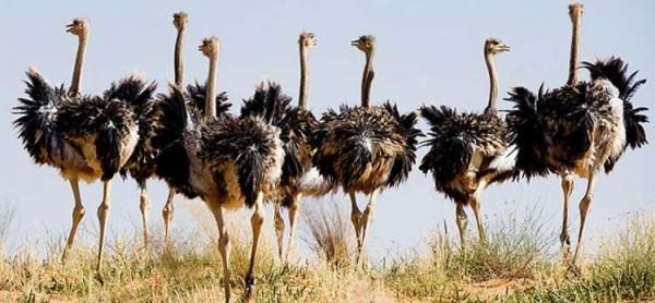 Группа страусов в дикой природе