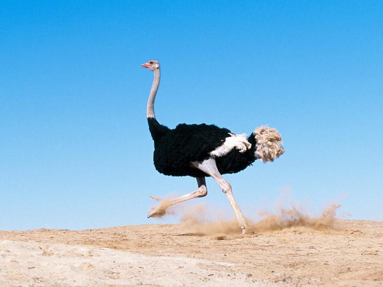 Взрослый африканский страус