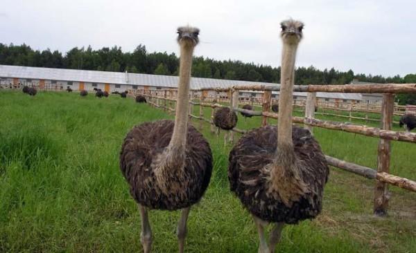 Два страуса на ферме