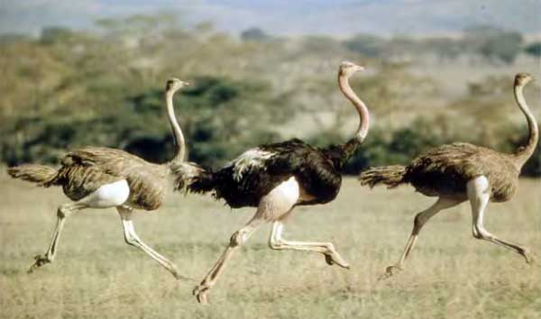 Бегущие страусы
