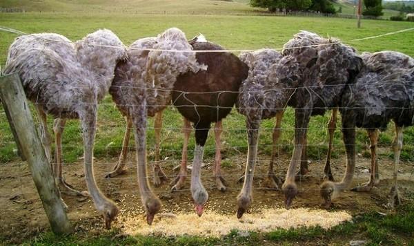 Взрослые страусы кушают корм