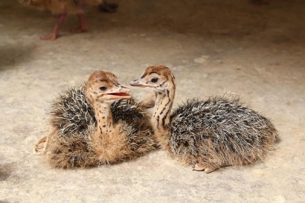 Два маленьких страусёнка сидят на полу