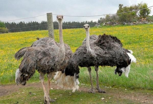 Взрослые страусы на выгуле