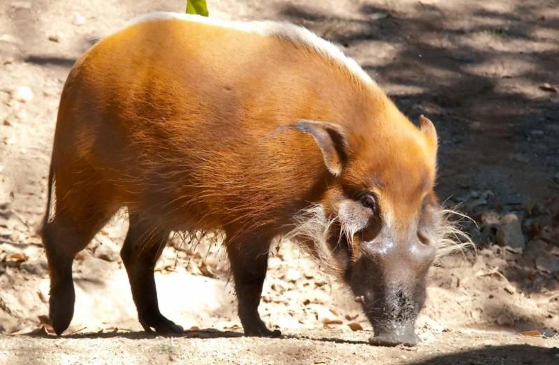 Речная свинка в поисках съестного